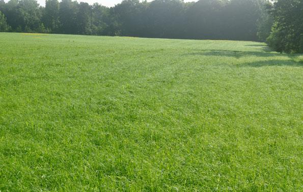 teff_grass