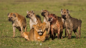 Young male Lion surrounded by Spotted Hyena. MASAI MARA, KENYA